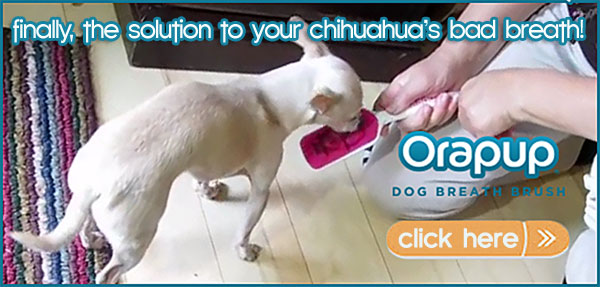 chihuahua orapup bad breath