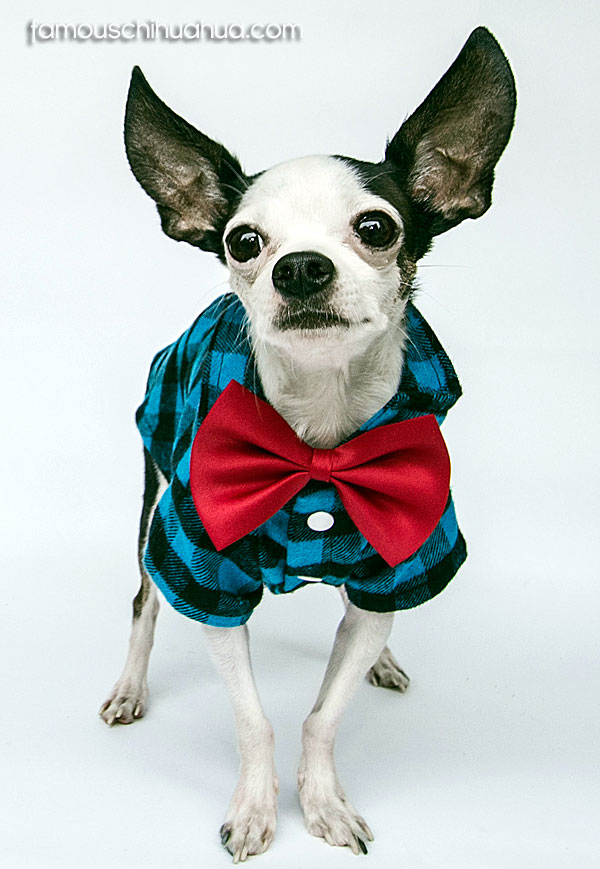 famous chihuahua bowtie