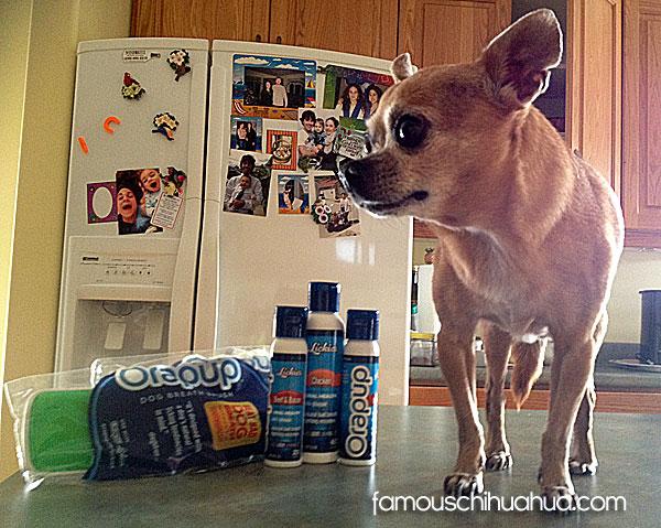 teaka famous chihuahua