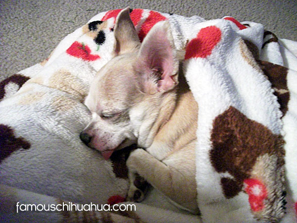 rosie famous sleeping chihuahua