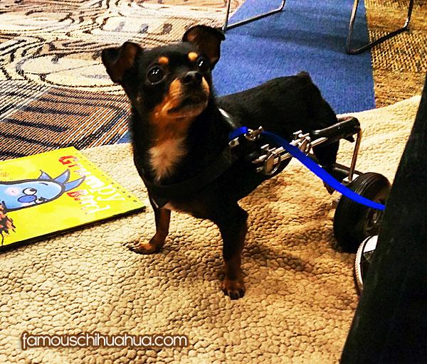 chihuahua rear-wheels cart