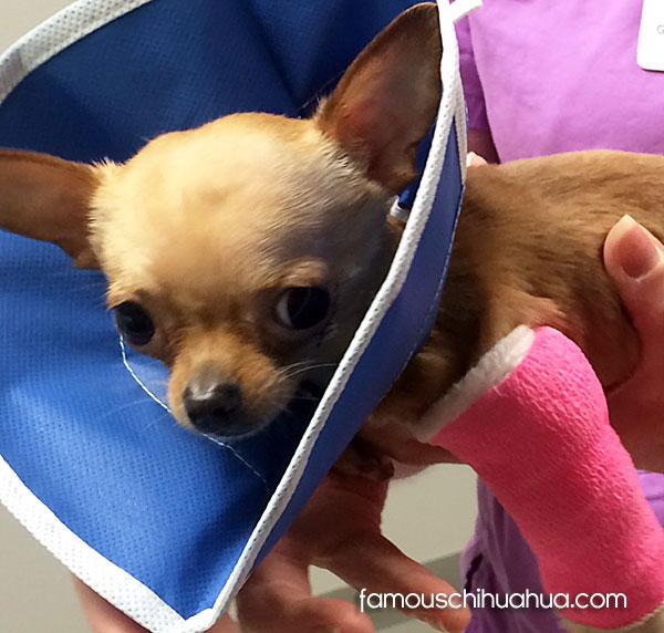 chihuahua broken leg