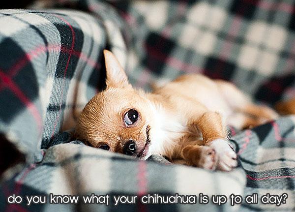 chihuahua-lying-down