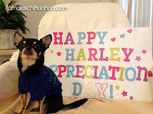 archie-chihuahua-appreciation-day