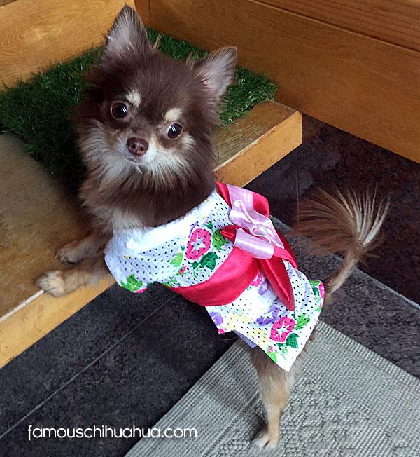 miracle famous chihuahua dog japan