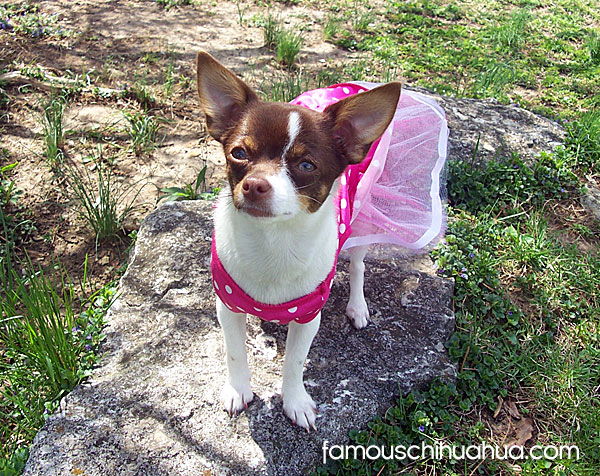 penny-famous-chihuahua