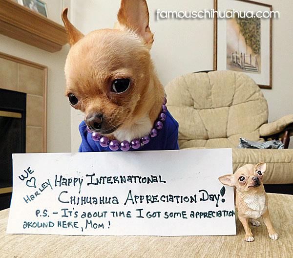 international chihuahua appreciation day may 14th