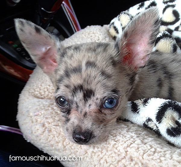 blue eyed chihuahua meet miss kitty a blue eyed merle chihuahua that looks 6383