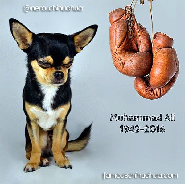 muhammad-ali-chihuahua