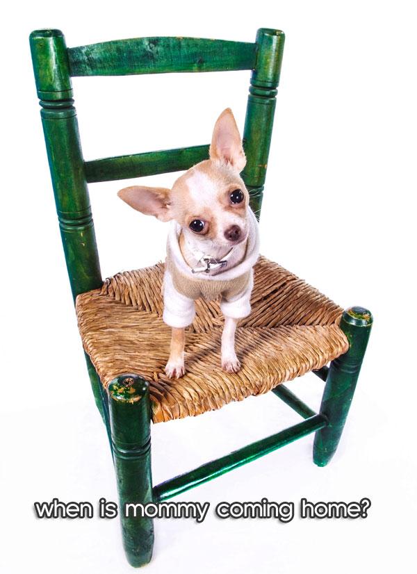 chihuahua-chair