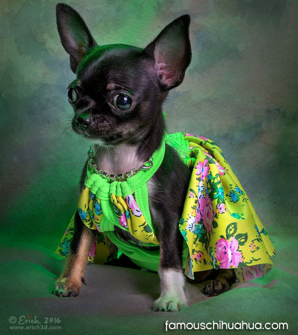 coco chanel famous celebrity chihuahua