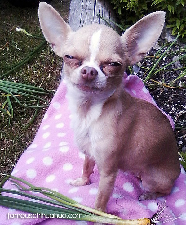 cute famous chihuahua