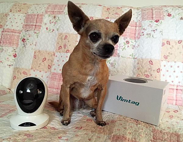 chihuahua with petcam