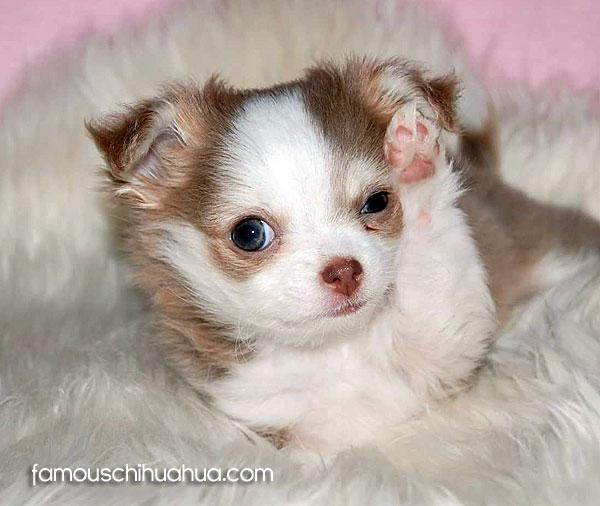 long coat chihuahua puppy