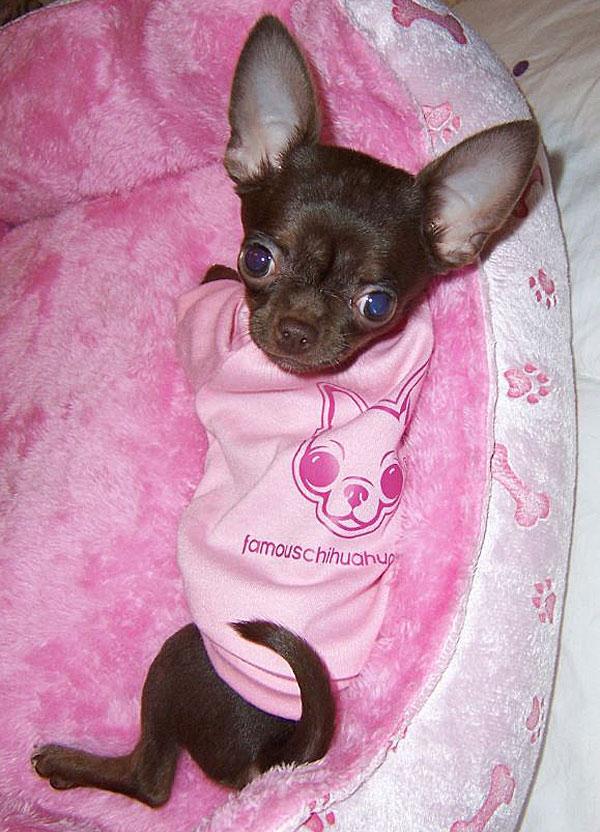teacup famous chihuahua shirt