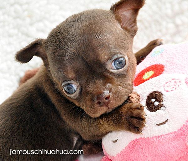 chocolate chihuahua puppy