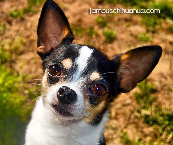 cute applehead chihuahua