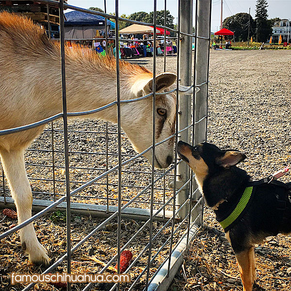 chihuahua and goat