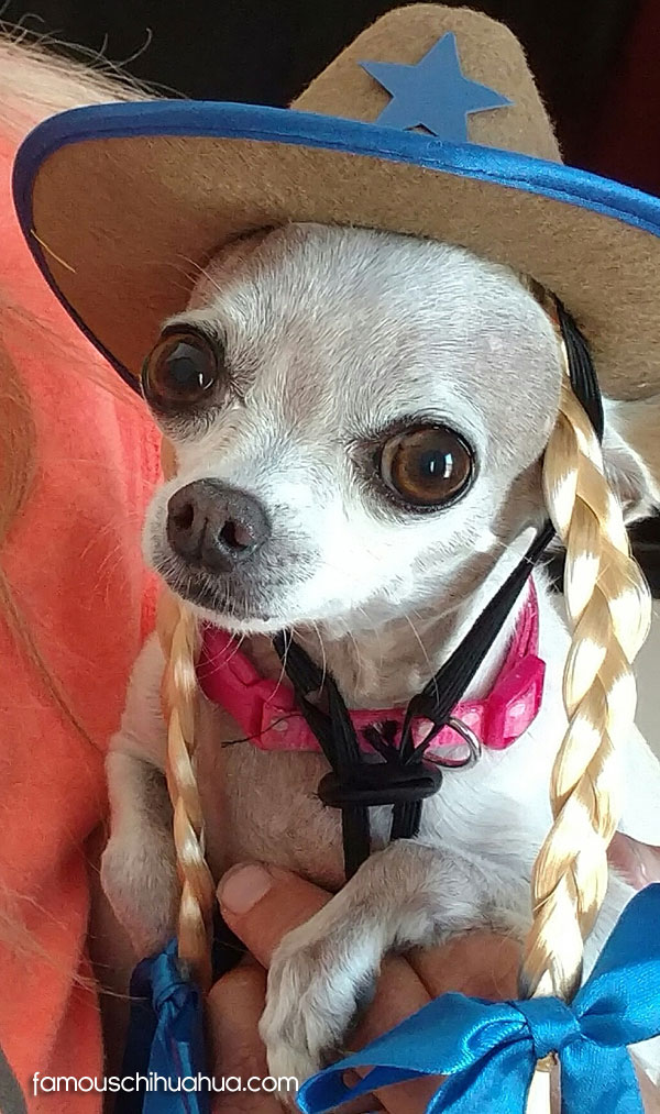lilly-famous-chihuahua
