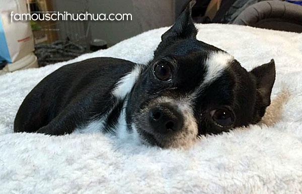 black and white applehead chihuahua