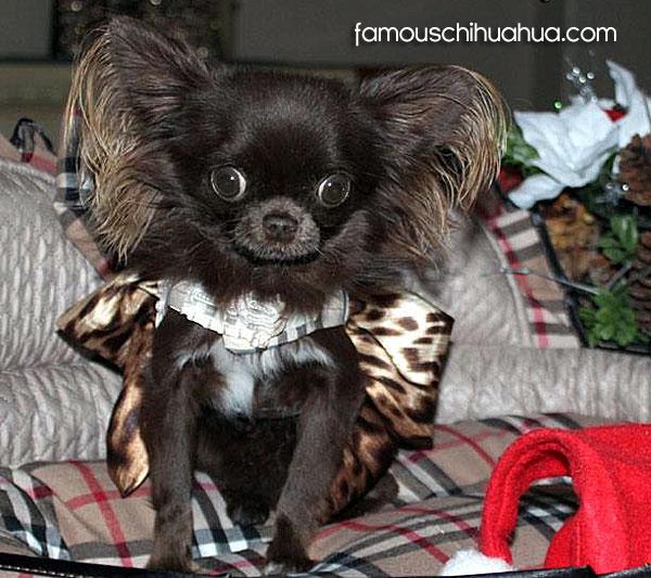 chocolate brown champion line chihuahua