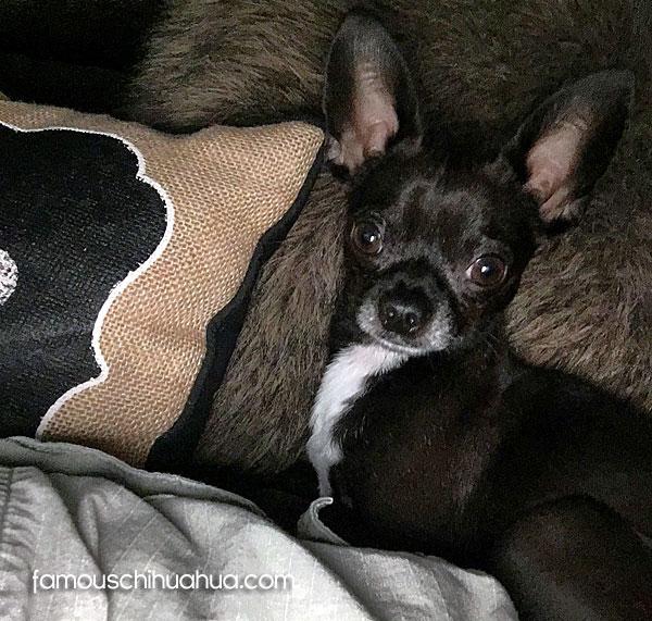 black apple head chihuahua