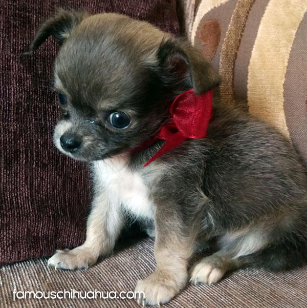 tiny blue chihuahua puppy