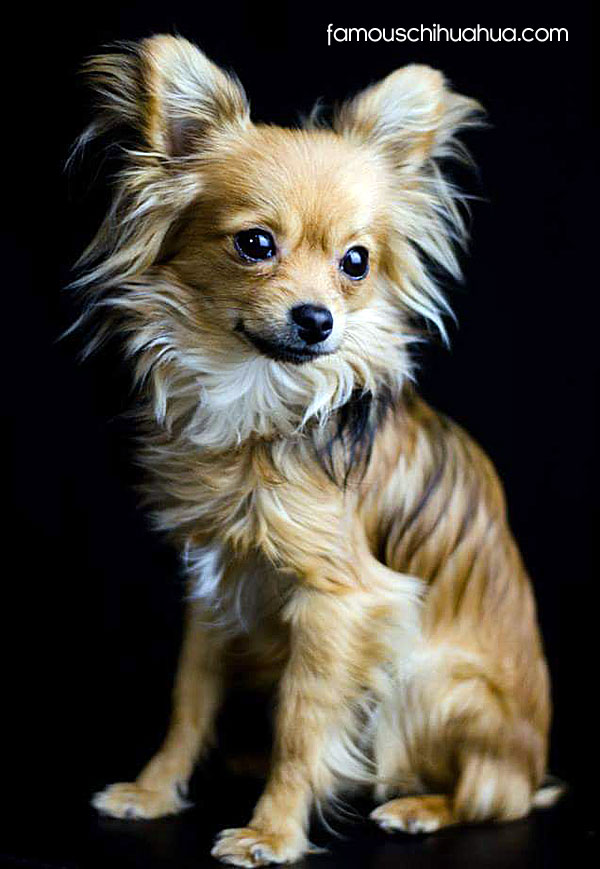 long haired golden chihuahua
