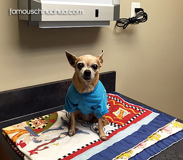 healthy senior chihuahua