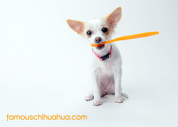 chihuahua holding toothbrush