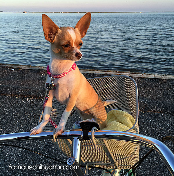 chihuahua on bicycle