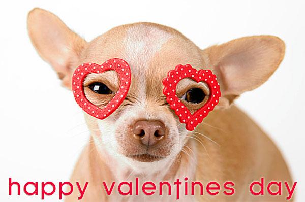 valentines chihuahua