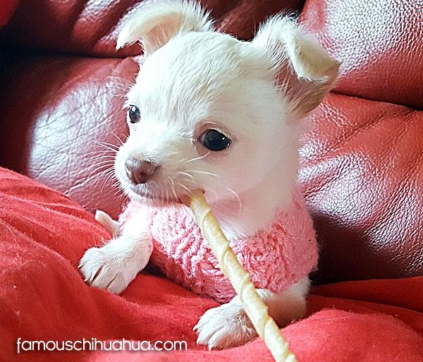 applehead white chihuahua puppy