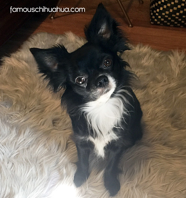 ong haired black chihuahua