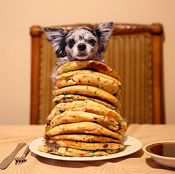 merele chihuahua on stack of pancakes