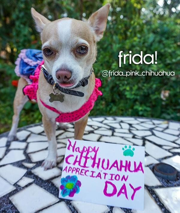 frida pink chihuahua