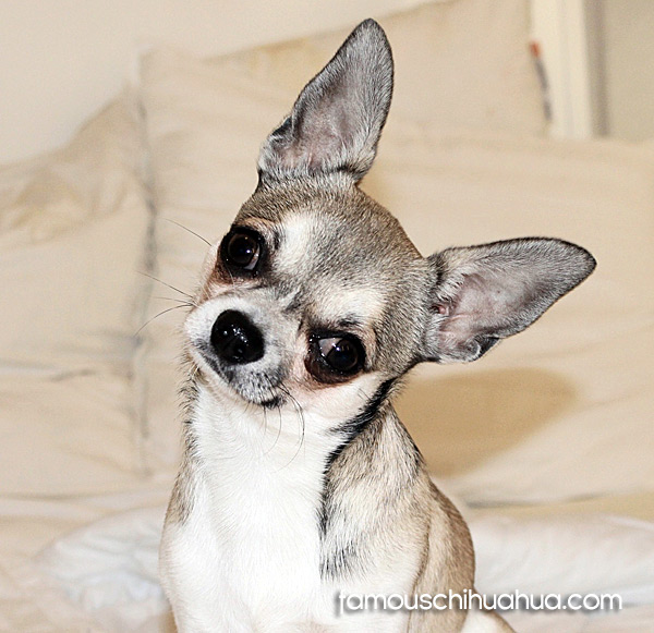 gorgeous applehead chihuahua