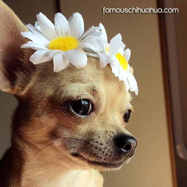 chihuahua flower girl