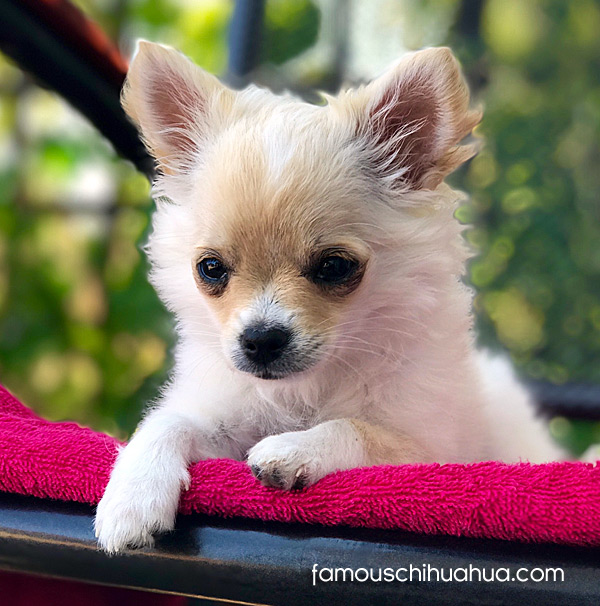 long haired chihuahau puppy