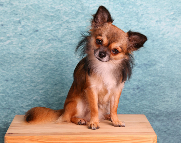 long haired chihuahua dog