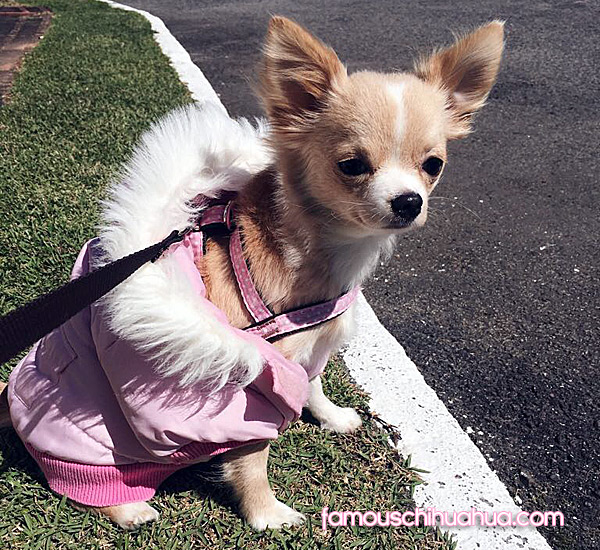 long haired chihuahua in dog coat