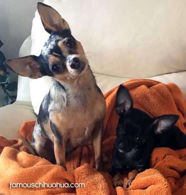merle chihuahua and applehead chihuahua
