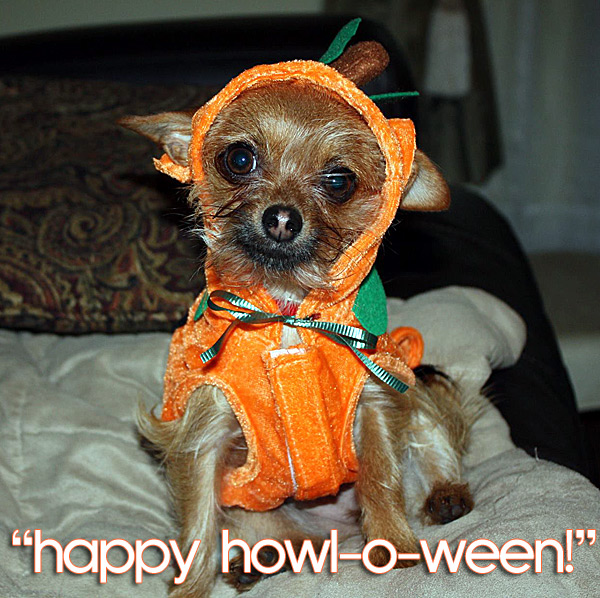 cute chihuahua in pumpkin costume