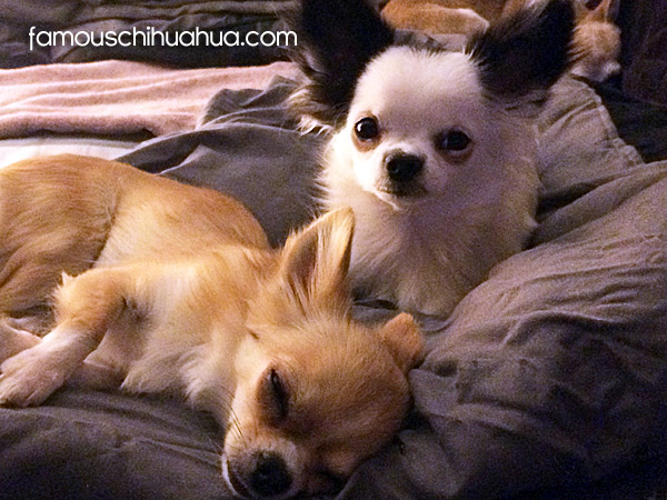 long haired chihuahuas!