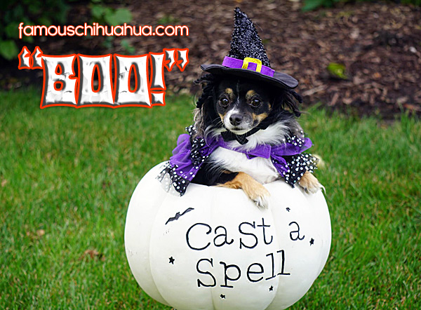chihuahua halloween witch