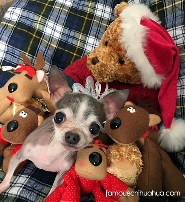 teacup chihuahua christmas toys