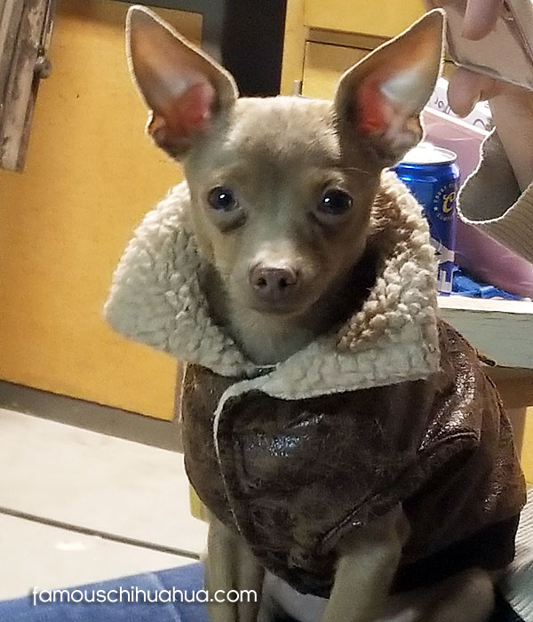 chihuahua in bomber jacket