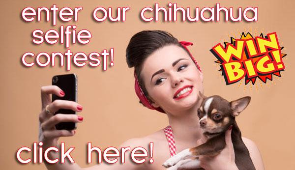 chihuahua selfie