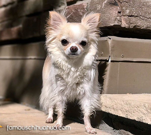white long-haired chihuahua