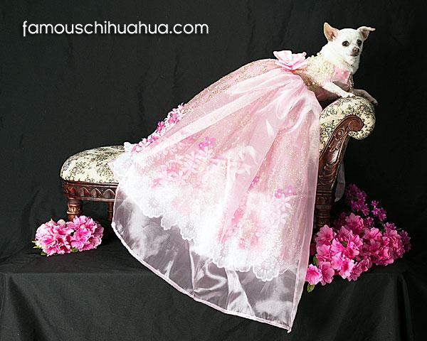glamorous chihuahua fashion model